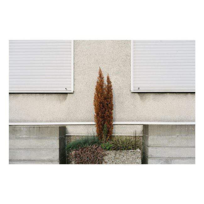 Hecke zwischen zwei Fenster