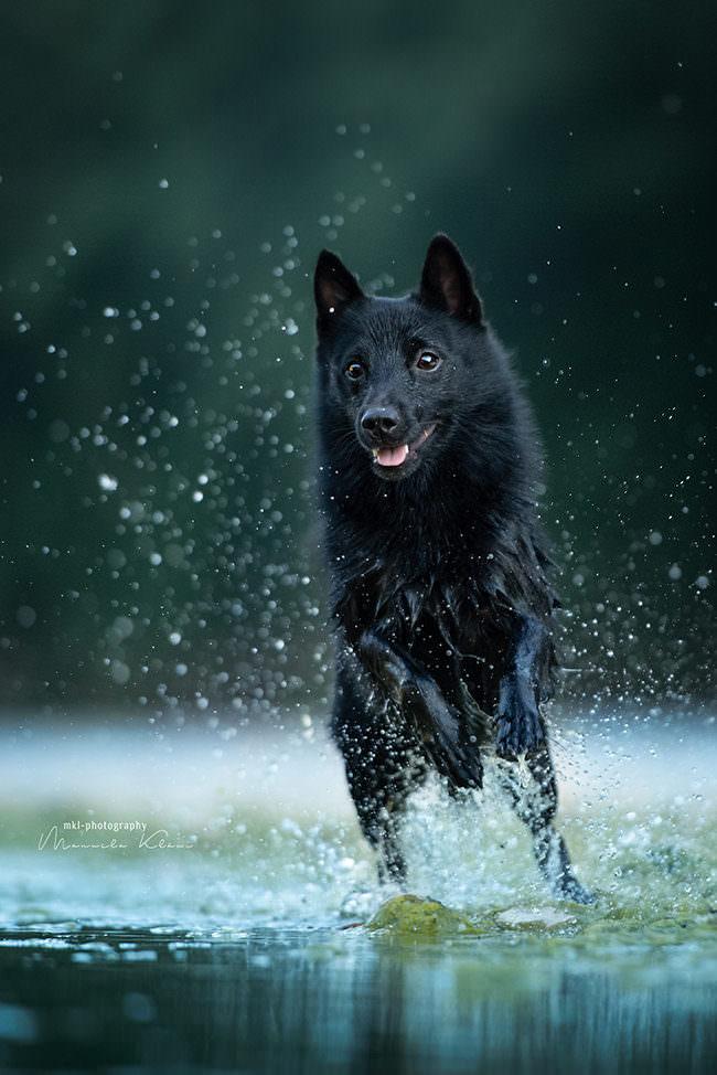 Hund rennt im Wasser
