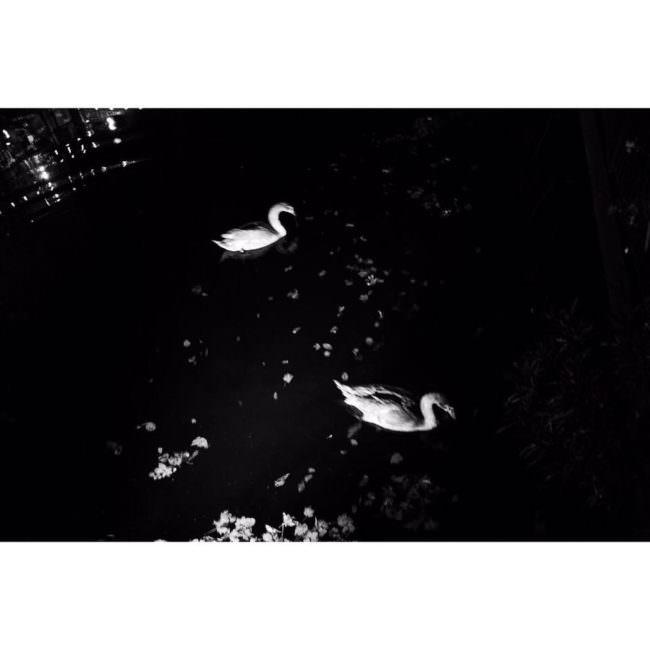 Zwei Schwäne im dunklen Wasser
