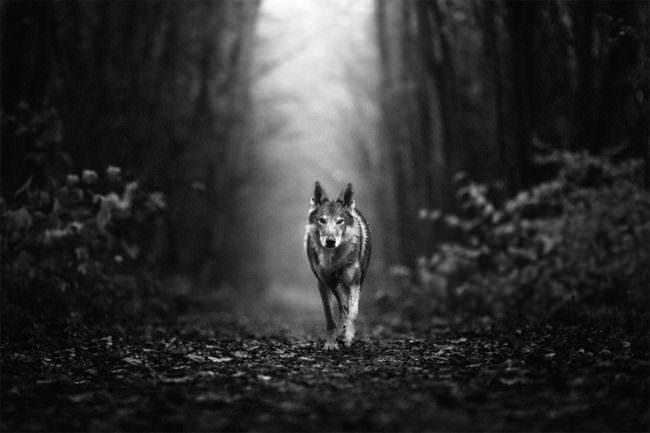 Wolfshund im Wald
