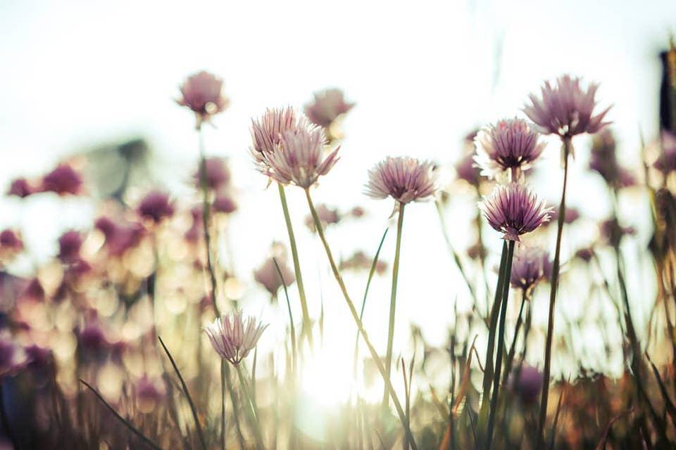 Kleeblumen