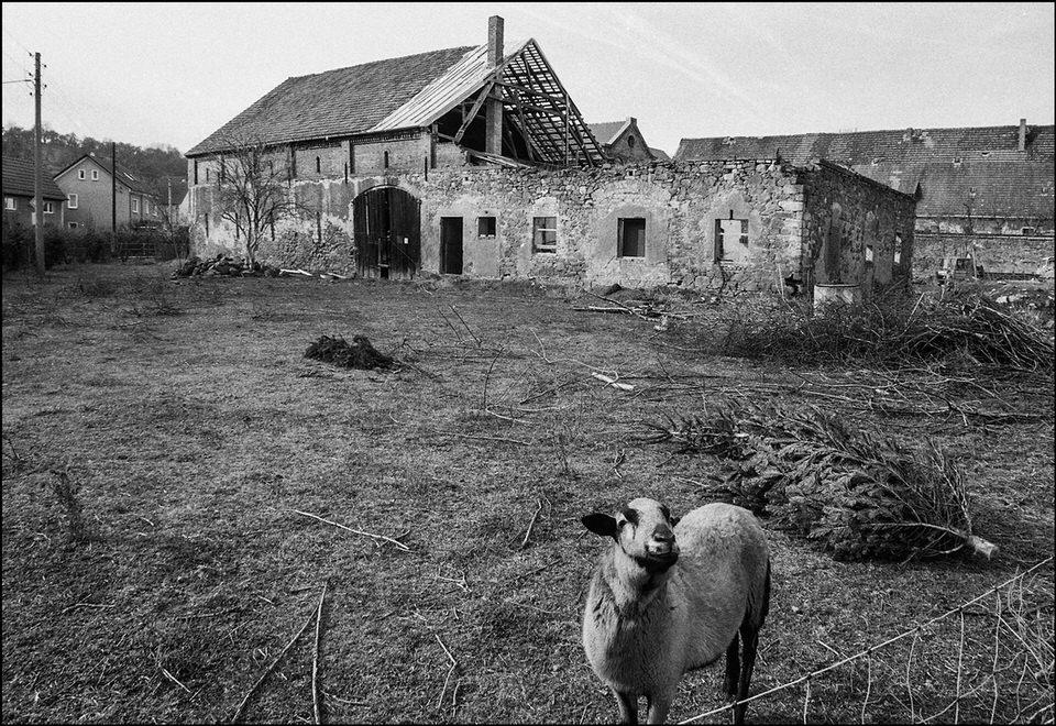 Schaf vor verlassenem Haus