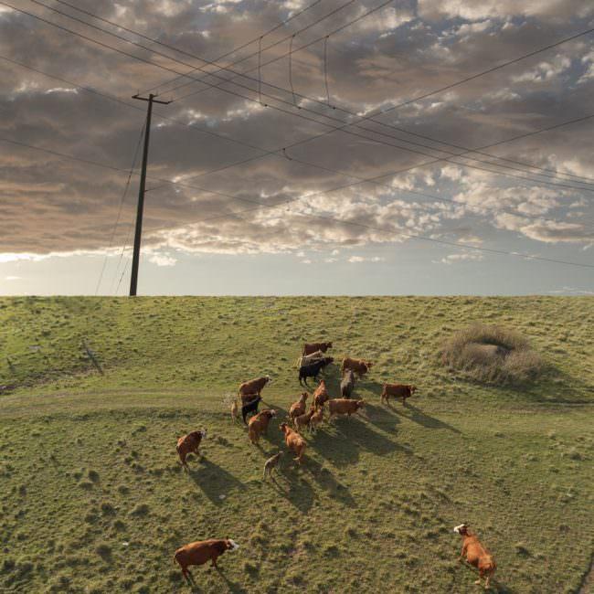 Collage mit Rindern auf Wiese vor Himmel