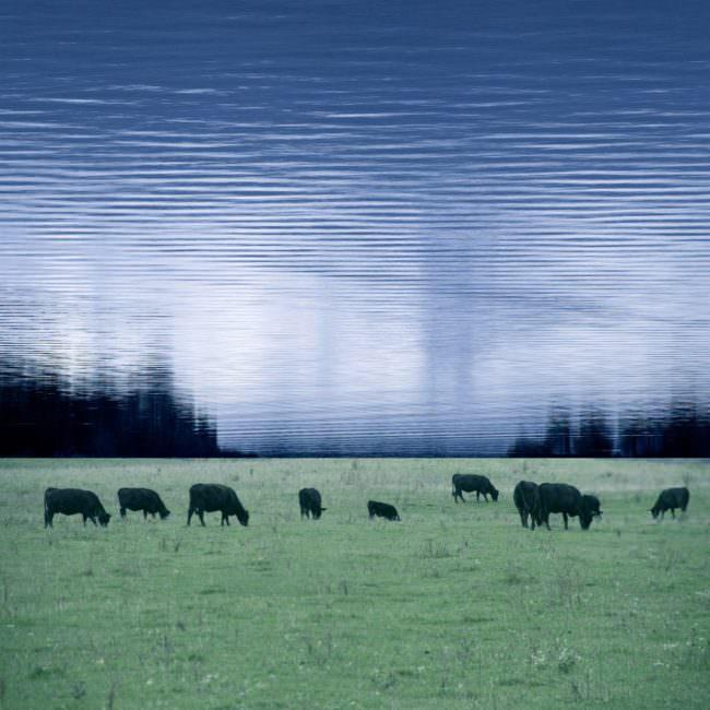 Collage mit Rindern auf Wiese vor Wasserhimmel