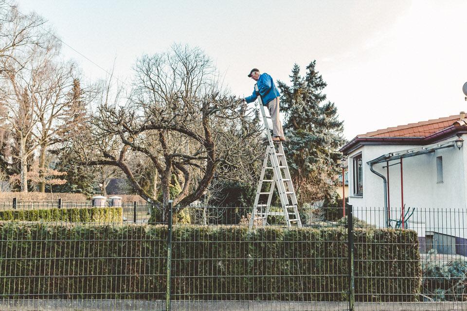 Mann stutzt einen Baum auf der Leiter stehend
