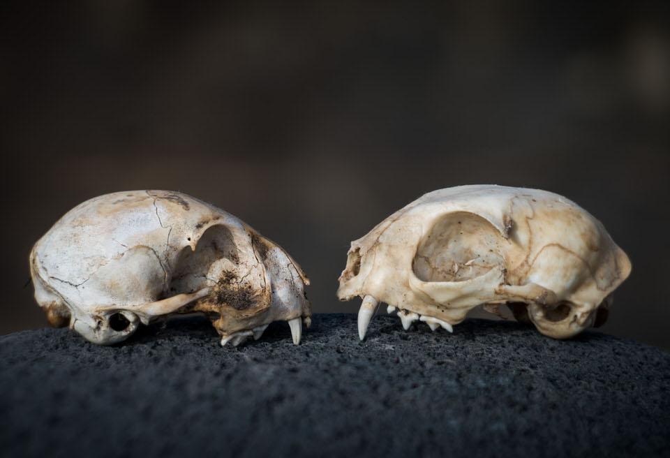 Zwei Schädel
