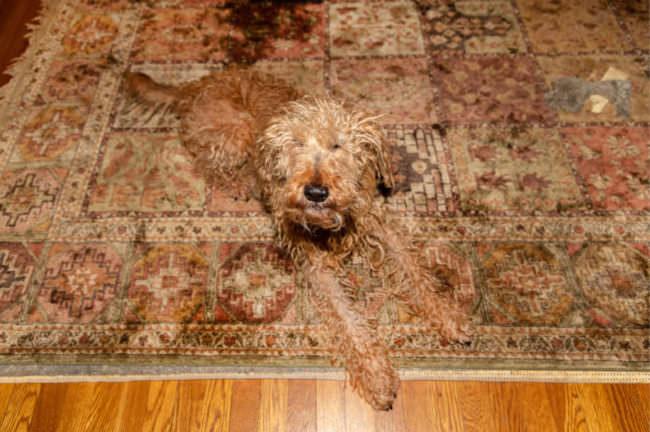 Hund auf einem Teppich
