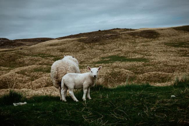 Zwei Schafe in der Landschaft