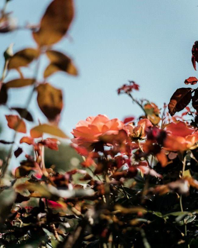 Rosenblüten vor blauem Himmel