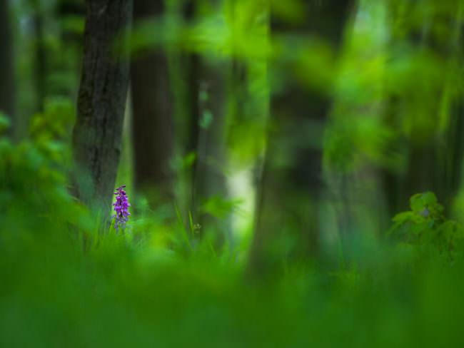 Lila Blume im Wald