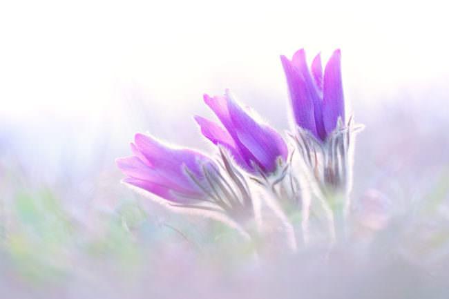 Drei lila Blumen
