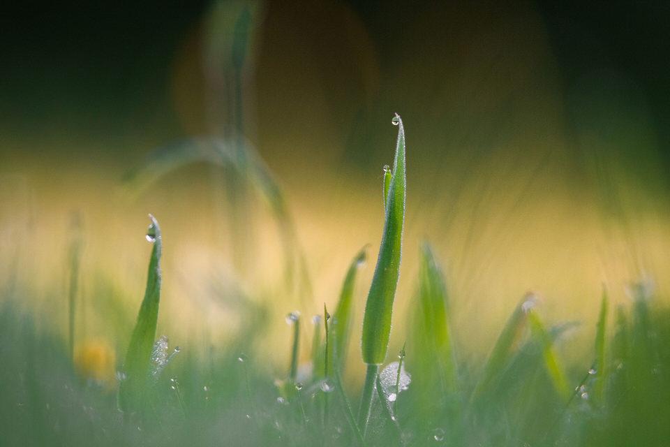 Wassertropen auf Gras