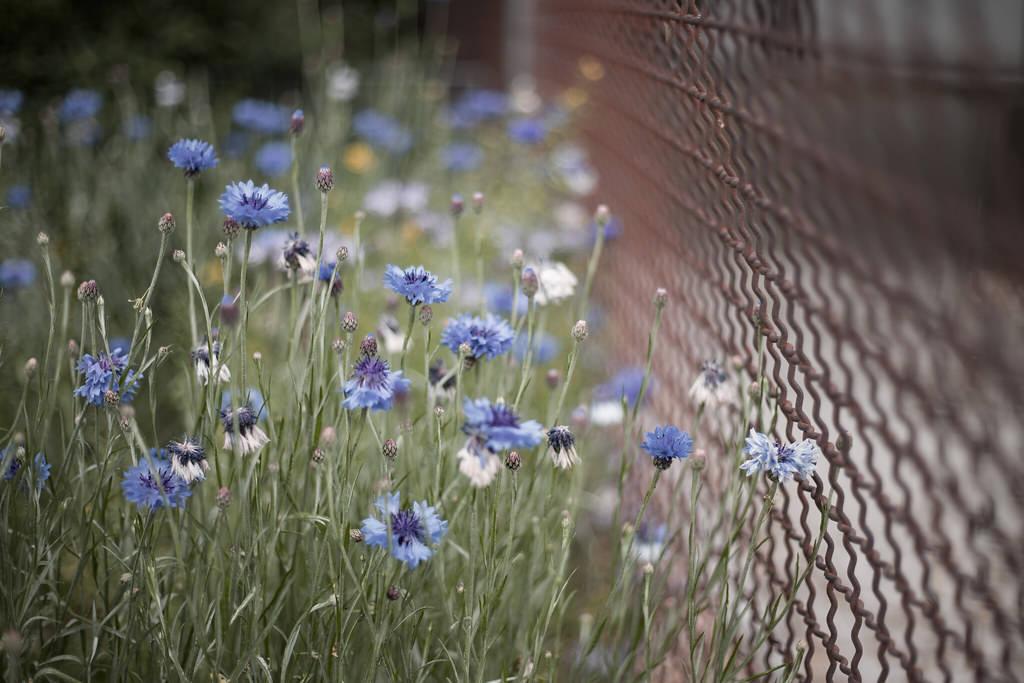 Blaue Blumen an einem Zaun