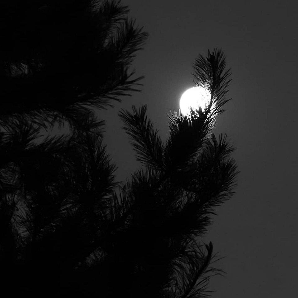 Mond hinter Nadelzweig