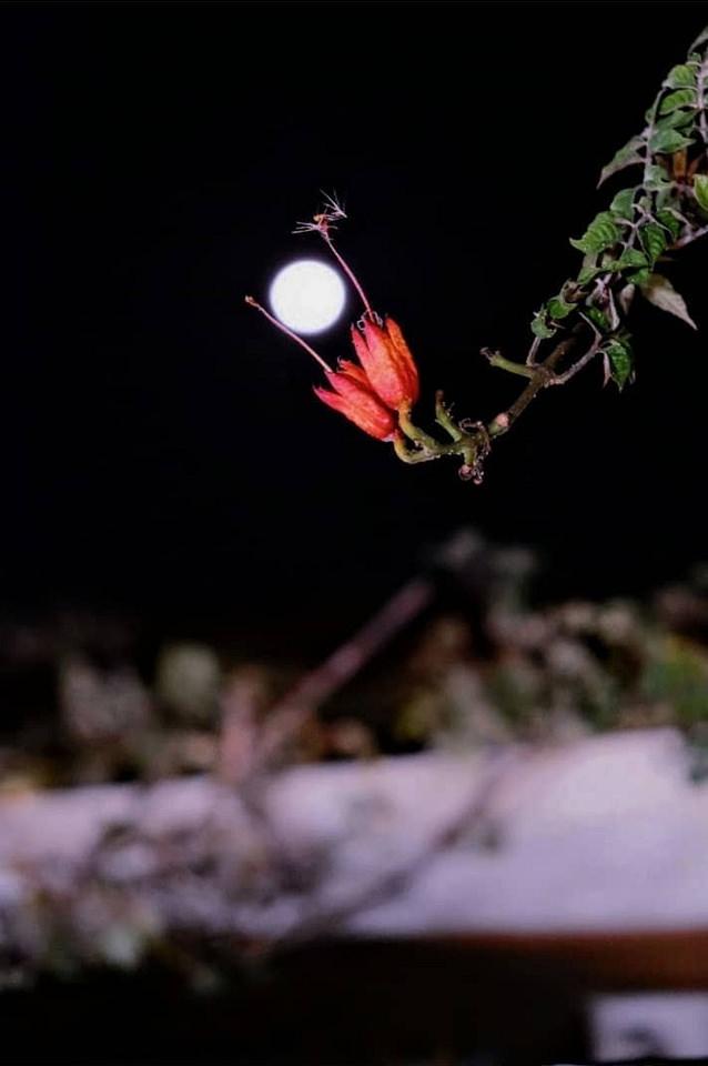 rote Blüte und Mond