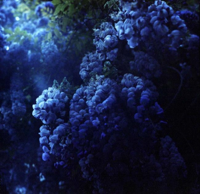 Blauregen