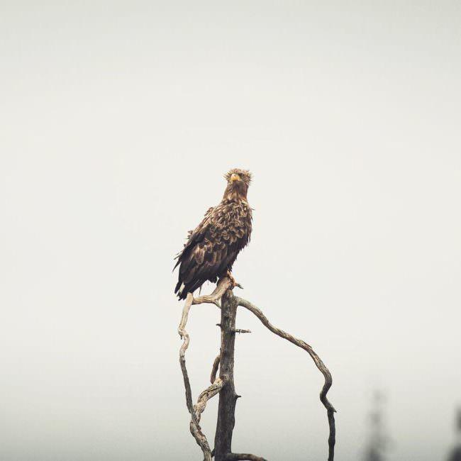 Greifvogel sitzt auf einem Ast