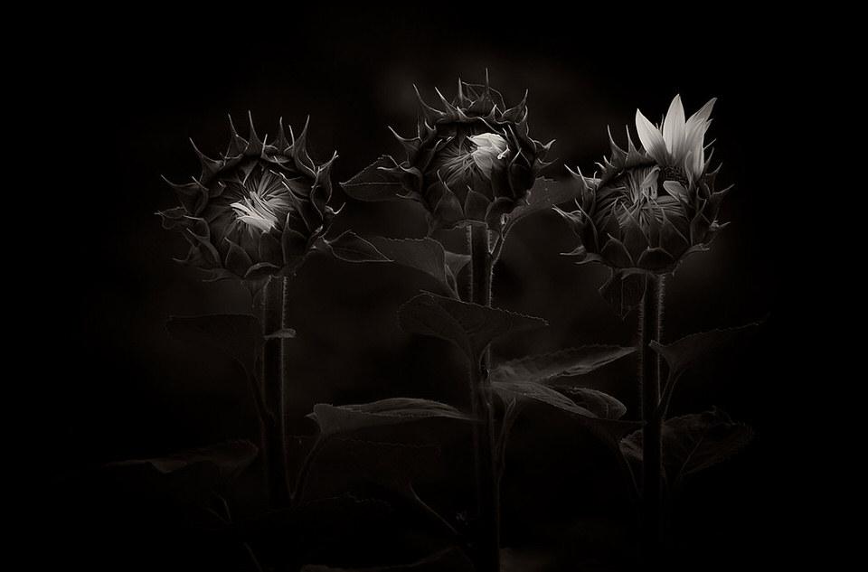 Drei Sonnenblumen in schwarzweiß