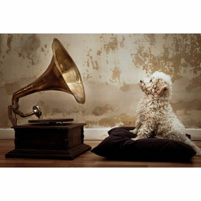 Hund vor einem Grammofon