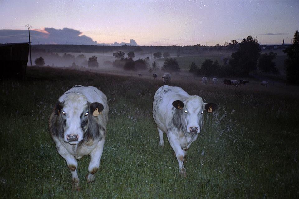 Zwei Kühe auf einer Wiese. Im Hintergrund Nebel und weitere Kühe
