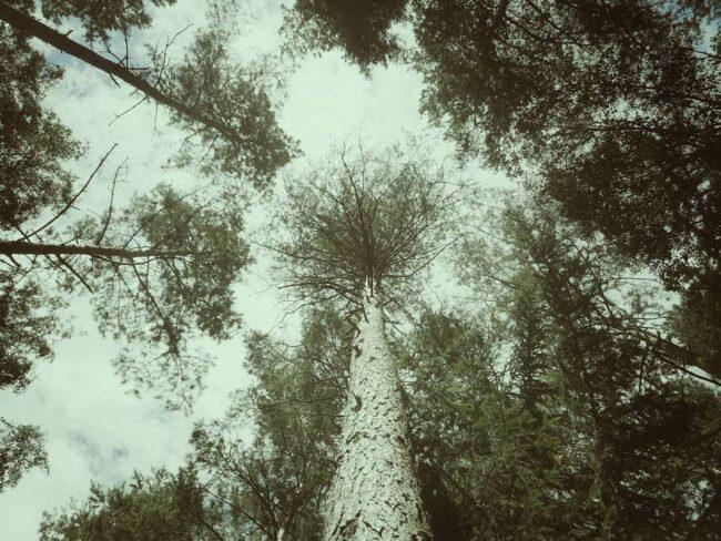 Blick nach oben in Baumkronen