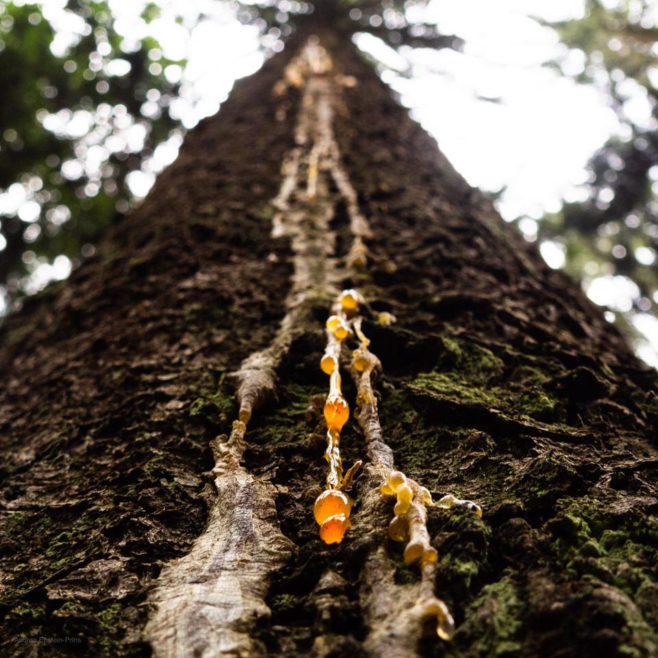 Harz tropft von einem Baum