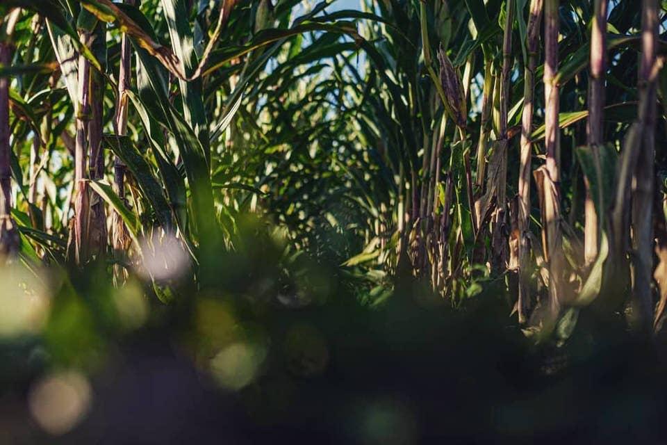 Gang in einem Maisfeld von unten