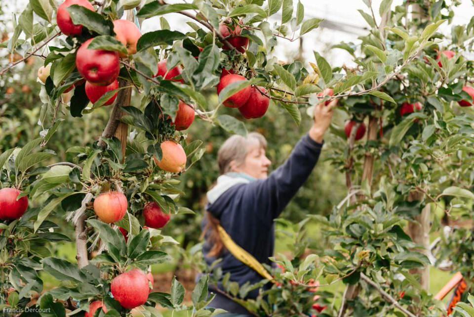 Mensch erntet Äpfel