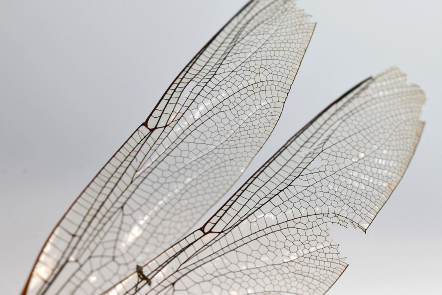 Libellen Flügel