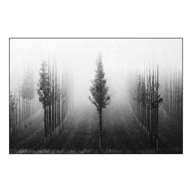 Junge Baumreihen im Nebel