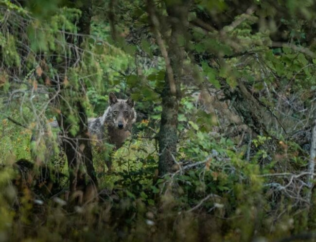Wolf in grünem Dickicht