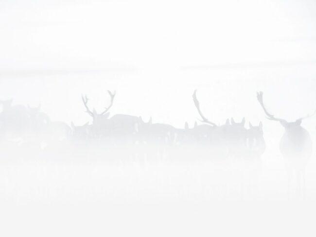 Rudel Damhirsche im Nebel