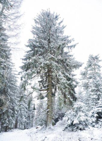 verschneite Nadelbäume