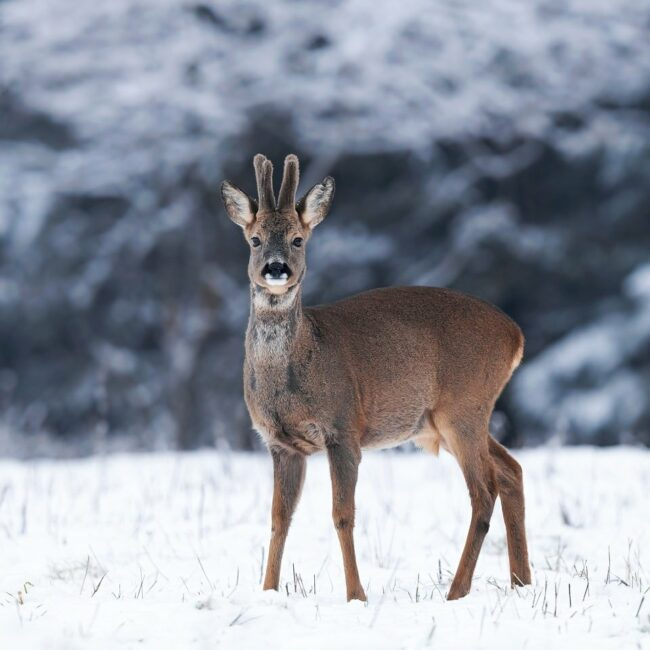Rehbock in Schneelandschaft
