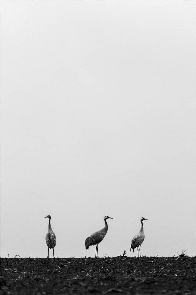 drei Vögel stehtn auf einem Feld