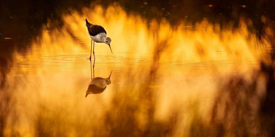Vogel steht in goldenem Licht in einem Gewässer