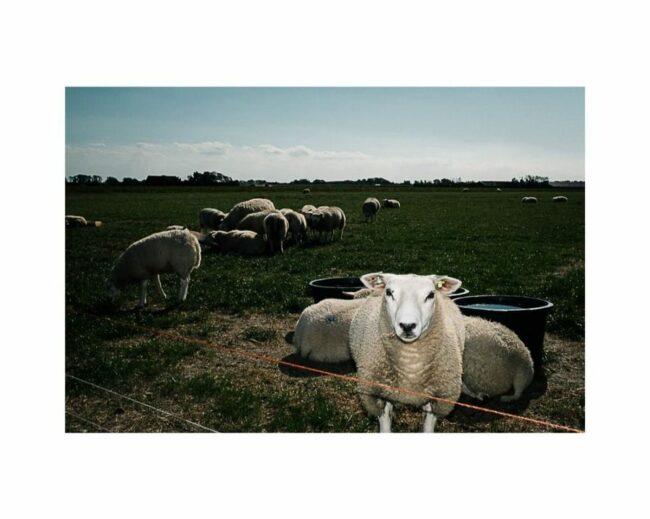 Schafe auf einer Wiese