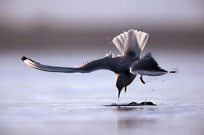 Vogel bei der Jagd kurz über der Wasseroberfläche