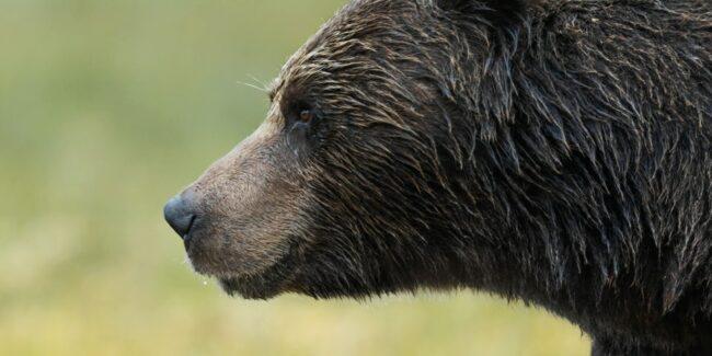 Braunbär im Profil