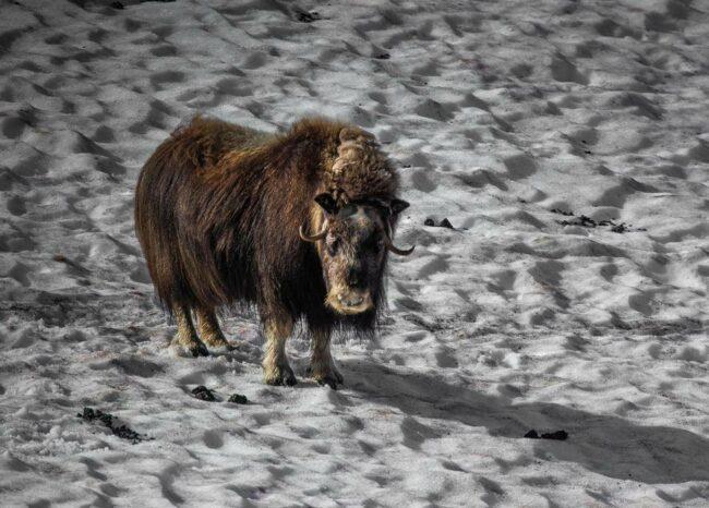 Moschusochse in Schneelandschaft