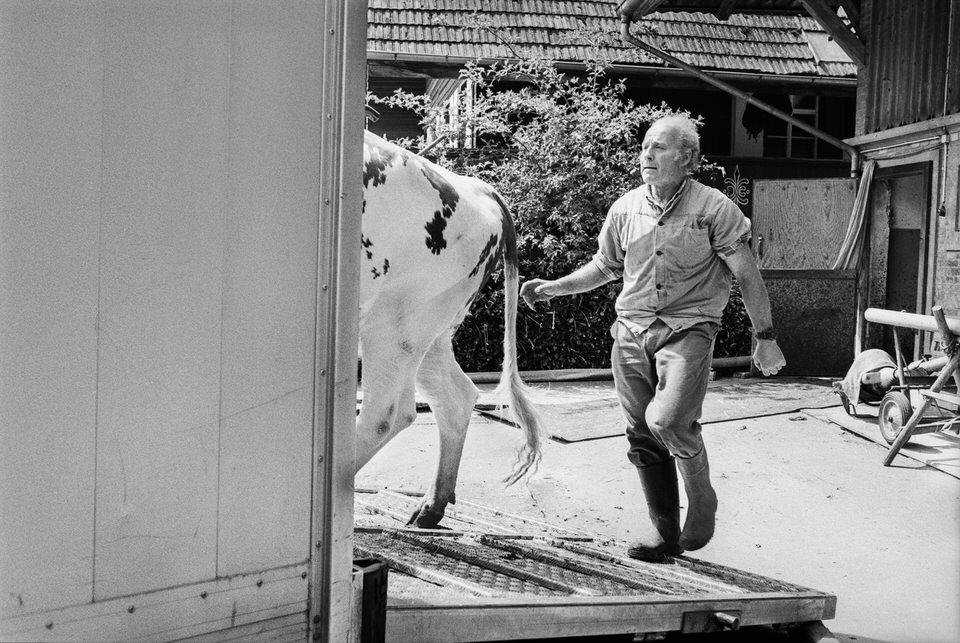 Eine Kuh wird verladen