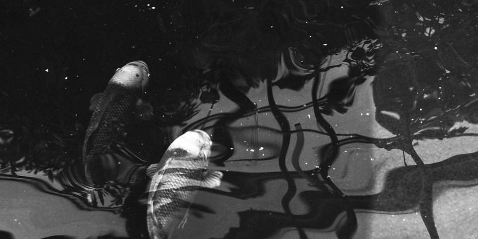 Kois im Wasser