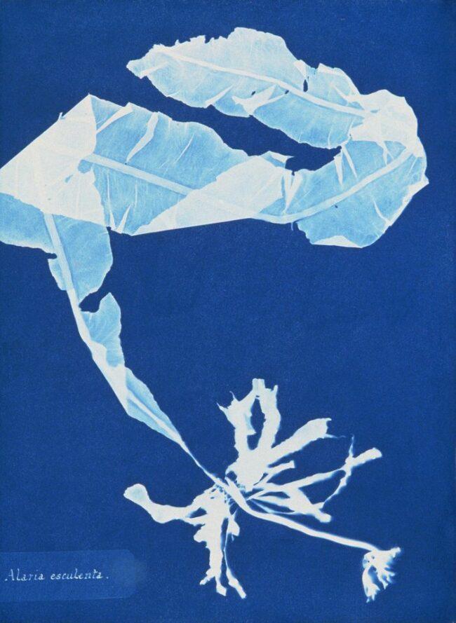 Cyanotypie-Fotogramm einer Alge
