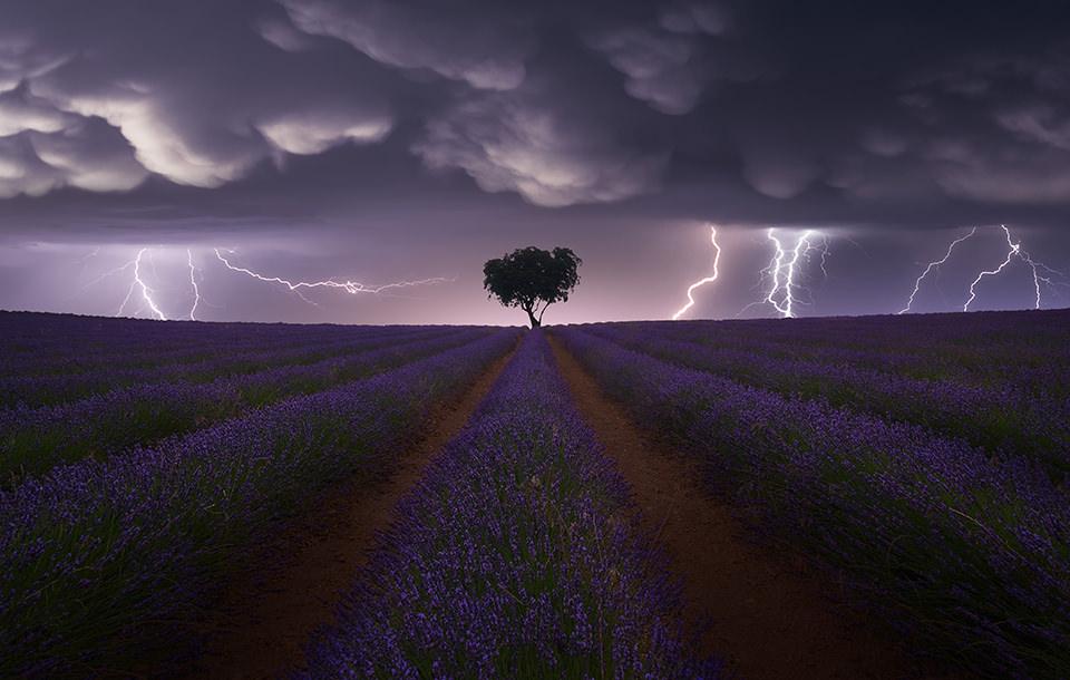 Lavendelfeld, am Horizont ein Baum und Blitze