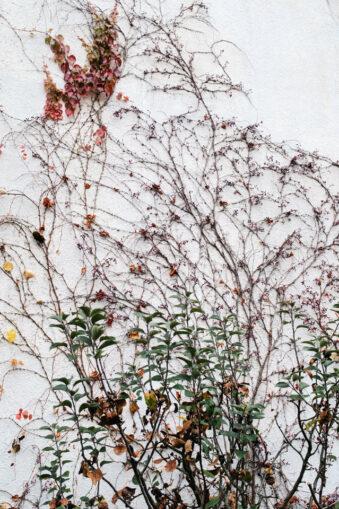 Pflanzen an weißer Fassade