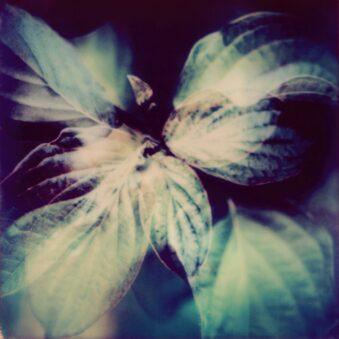 Cornus Polaroid