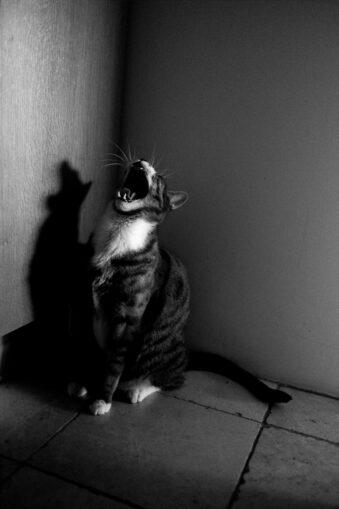 Schreiende Katze