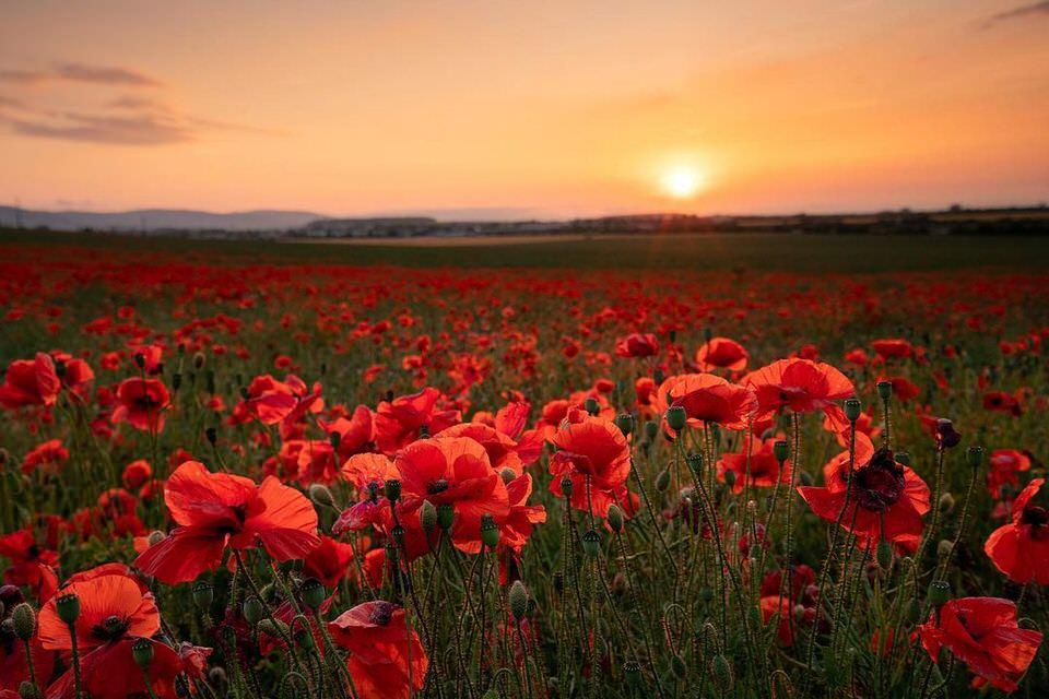 Mohnblumen mit Sonnenuntergang