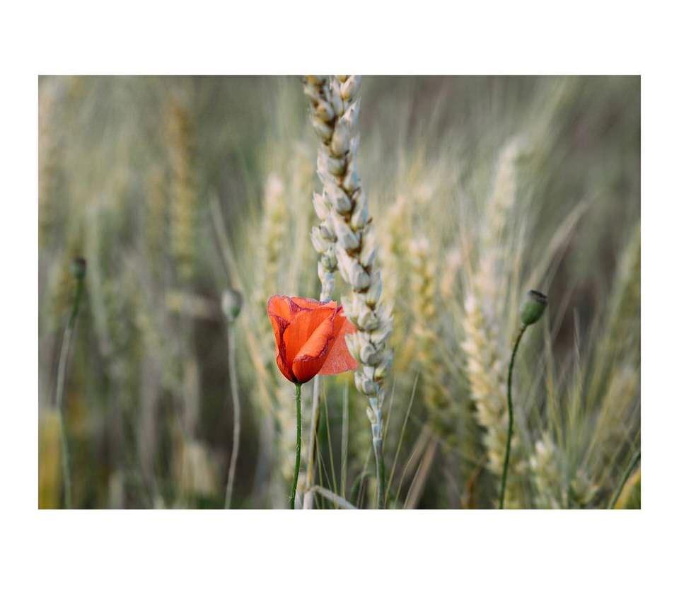 Mohnblume zwischen Gräsern
