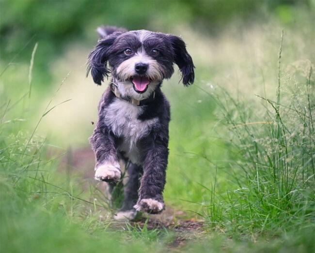 Rennender Hund in der Wiese
